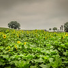 9-1-2020: Sunflower field