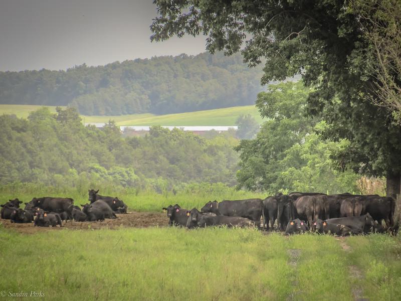 8-28-2020: Hot cows