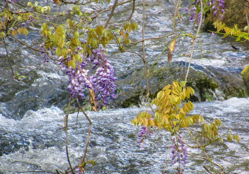 5-6-2020: Last of the wisteria, Spring Creek