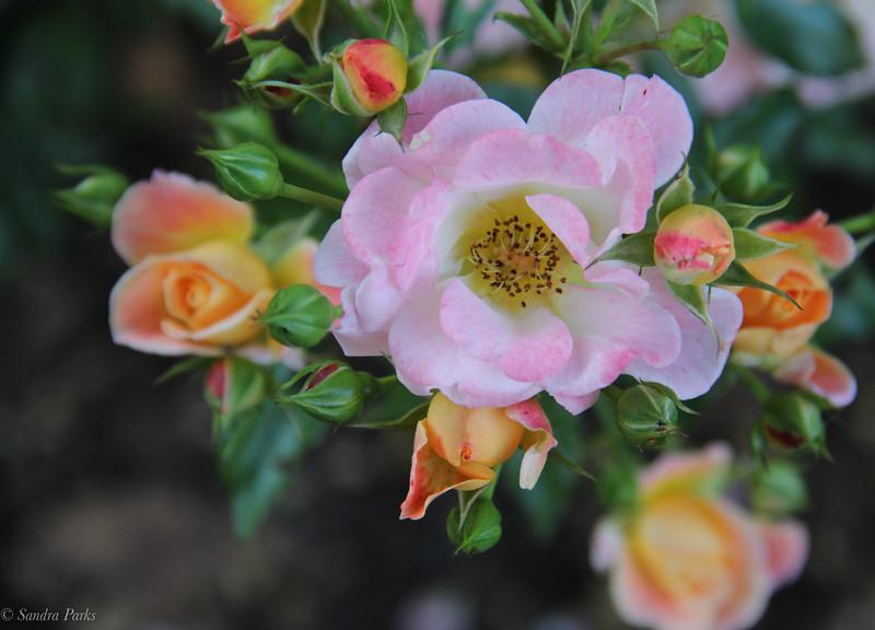10-7-2020: Roses, JMU Arboretum