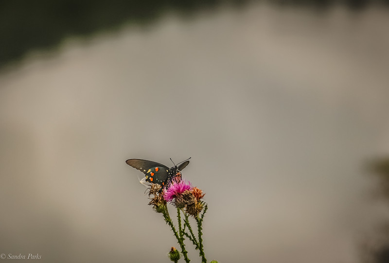 8-21-2020: Butterflies