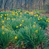 3-7-2020: Wildwood daffodils