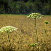 7-10-2020: : Queen Anne's Lace