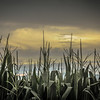 8-3-2020: Corn and clouds