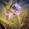 3-21-2020: Virginia Bluebells