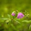 4-26-2020: Wild geranium