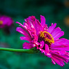 8-26-2020: Zinnia. A powerhouse of a flower.