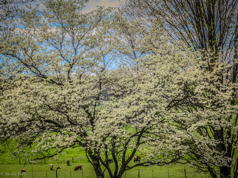 4-22-2020:Dogwood, and cows.