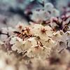 3-25-2020: Blossoms in the rain