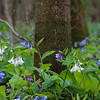 4-01-2020: Bluebells in the WIldwood