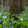 4-01-2020: Bluebells in the WIldwood