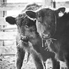 1-29-2020: Cows in black and whire