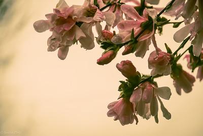 3-25-2020: Tulip magnolia  in the rain