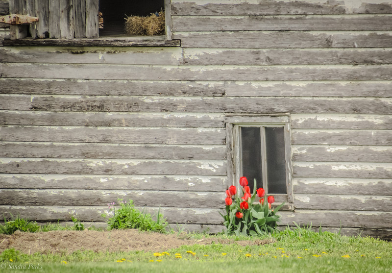 4-6-2020: Tulips by the barn