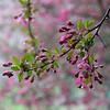 4-8-2020: Blossoms in the rain