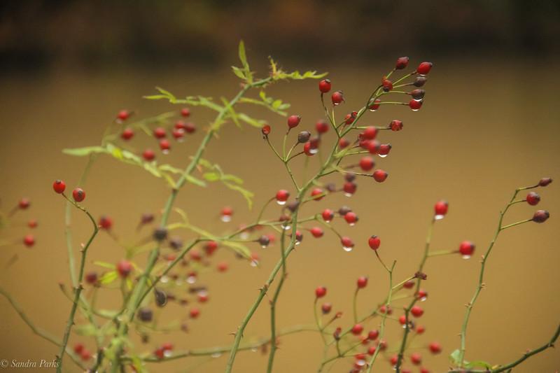 11-12-2020: Berries in the rain