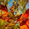 11-17-20202: Oak leaf hydrangea