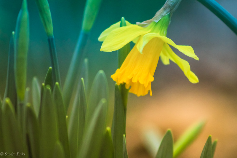 2-16-2020: The first daffodil