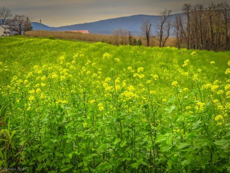 11-12-2020: Yellow flowers and Alleghenies