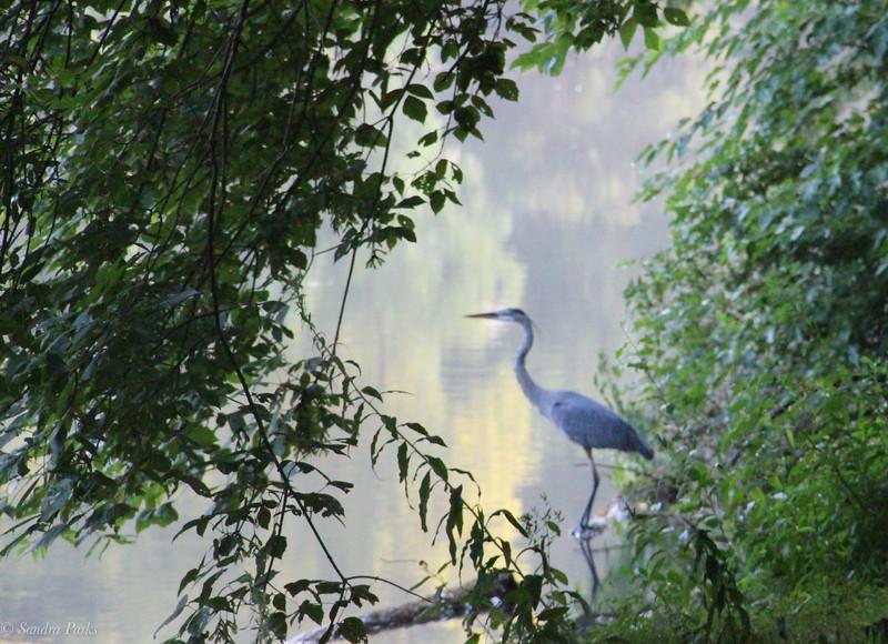 8-11-2021: Heron at Wildwood