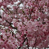 3-21-20202: Cherry blossoms