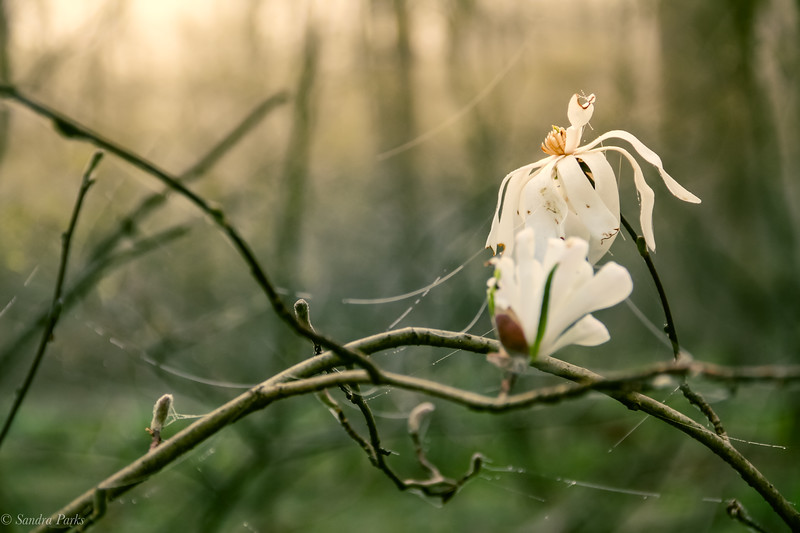 3-24-2020: Star magnolia, in the misty morning