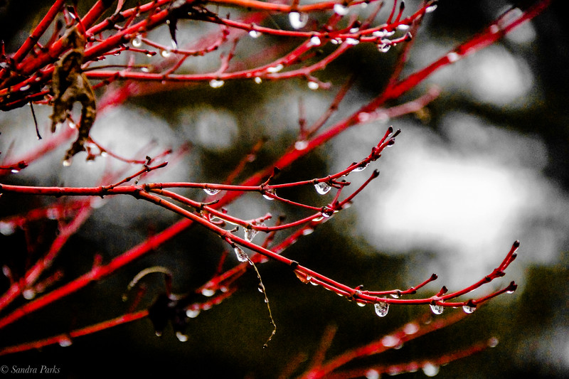 1-25-2021: Red twigs in the rain