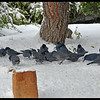 A flock of pinyon jays.