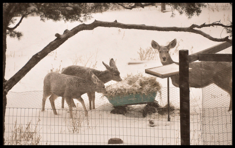 Lunch at the green hay wagon -Mule deer doe, two fawns and alfalfa ala mode.