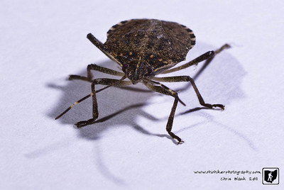 My wife brought it to my attention tonight, in the middle of winter, that a bug was flying around the house.  To my amazement it was a fairly large bug.  A stink bug to be exact.  So what do I do as a loving husband, catch it and take its picture.