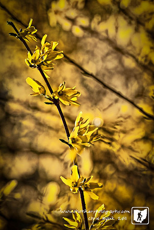 Spring is here.  My large forsythia started blooming the other day and is in full bloom.
