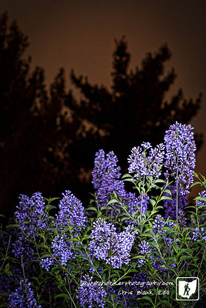 My lilac bush is in full bloom.  I was going to go out and take some pictures of it during the day today but got busy.  So I went out a 10:00 this evening and did a little light painting with an LED flashlight.