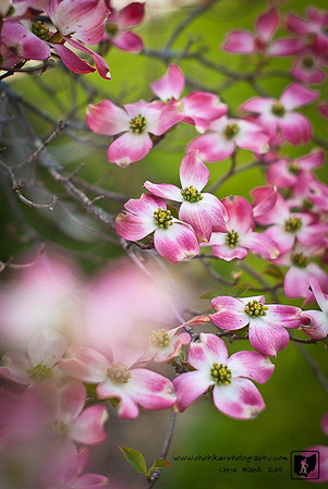 It is unmistakable that the doogwoods are in full bloom.  This evening just before sunset I stopped for a few minutes to grab a few photographs of this pink dogwood's beautiful flowers.