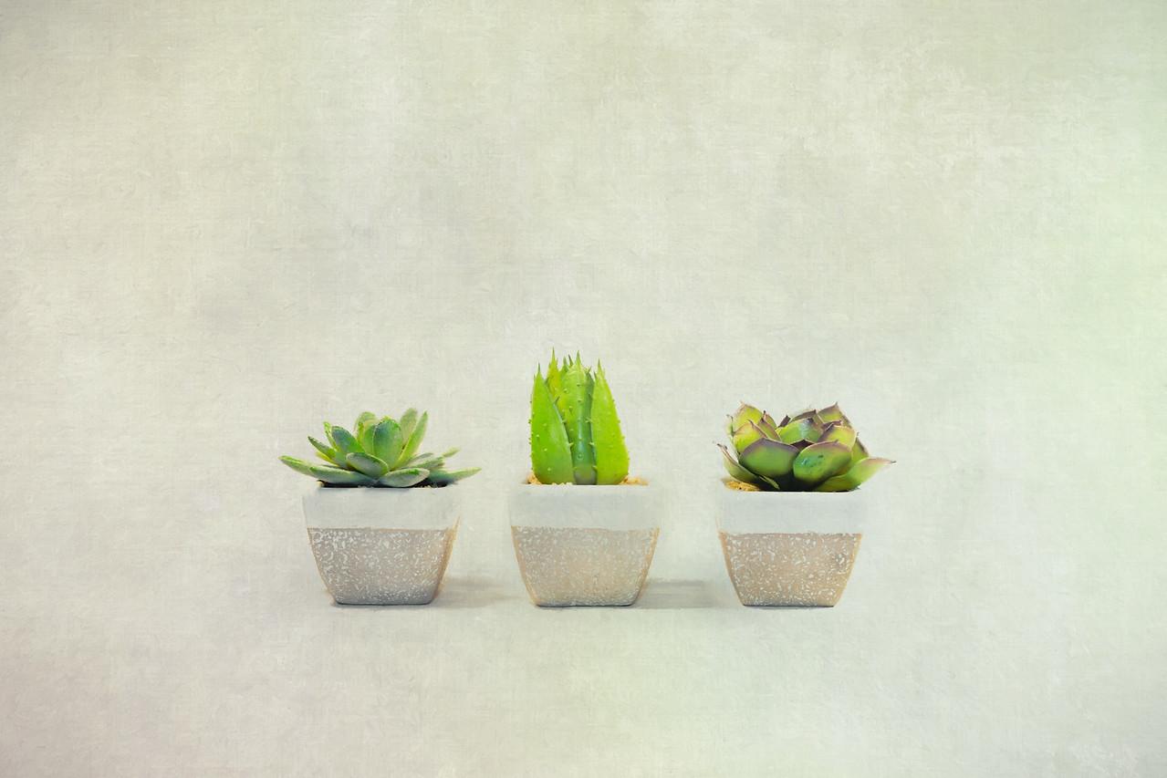 A Trio of Succulents