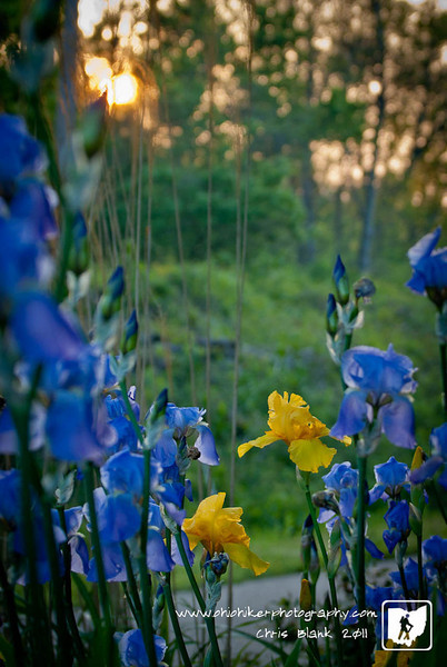This evening I saw these yellow irises among some purple irises.  With the sun slowly setting behind them they really stood out.