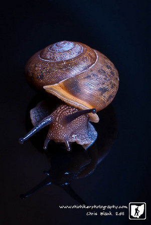 Trevor brought me a snail he found yesterday to photograph.  I already wanted to to the Oreo splash so I had him turn it loose.  This morning leaving for work I saw this snail on the front porch so it came to work with me to be my subject on a rainy day at work.