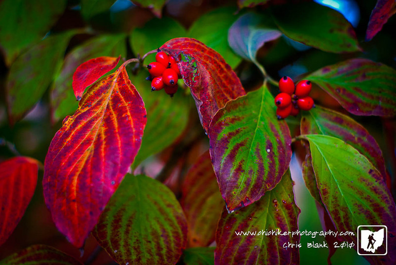 The dogwood in my front yard is getting its fall color. The red berries and leaves against the green leaves is absolutely stunning.