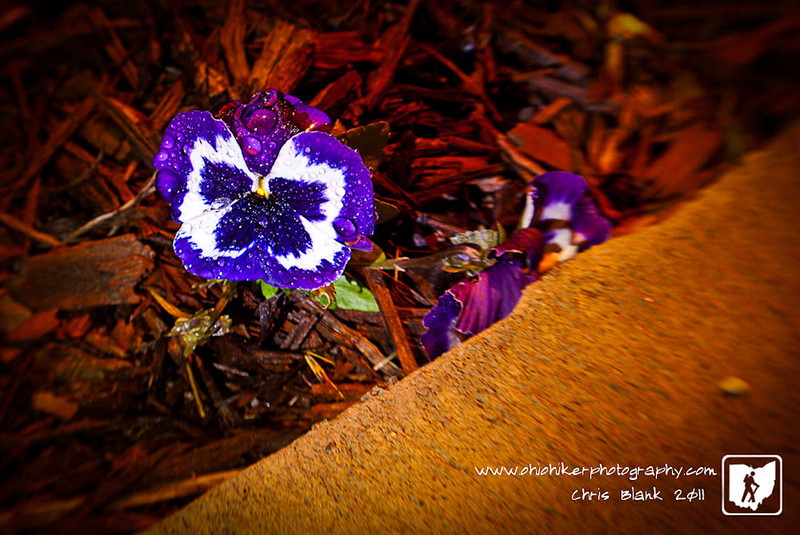 I saw this pansy outside the station this morning and new it was my subject for the day.  I wanted to wait until it rained and it was covered with water drops. I waited to late and had to use a small LED light to add a little fill.