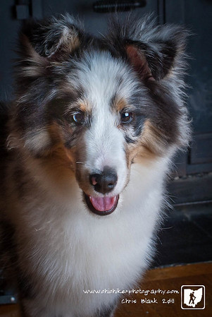Today I went to Cincinnati to take some pictures for a client.  His wife breeds Shelties and is expecting a litter at the end of the month.  She had a 2 puppies from a previous litter.  We ended up coming home with this beautiful male sheltie.