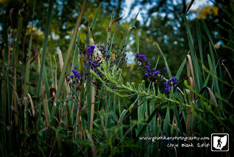 Day 4 of 365<br /> <br /> Out walking at Raccoon Creek County Park this evening I was this Ironweed mixed i with the cat tails