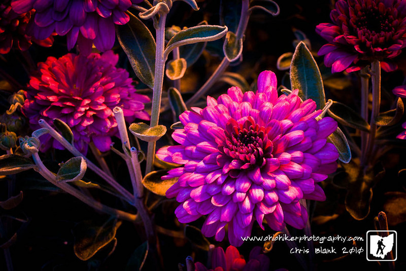 Day 5 of 365<br /> <br /> Seeing the mums planted outside work in the light of the dusk to dawn light provided the image for Day 5.
