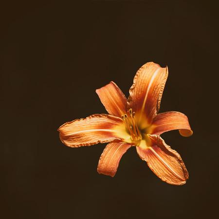 An Orange Lily