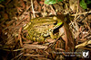 I found this Northern Green Frog outside the station this evening while looking for something to photograph.  Needless to say it hopped right out in front of me.  Though the Northern Green Frog can look like an American Bullfrog, the Northern Green Frog has a fold of skin behind each tympanic membrane(ear) running down its back.  Luckily he stayed put for me to run in and get a camera and a flash.