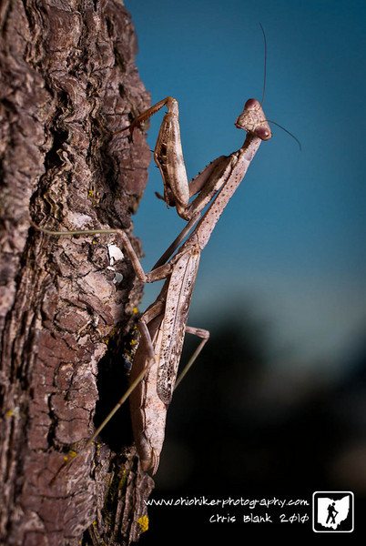 I only saw this praying mantis on this tree because he was walking up the tree. Luckily he paused and  looked for quick photograph.