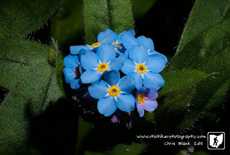 I dug up an replanted my wildflower bed on the side of the house today.  In another bed I found this Siberian Bugloss.  The cluster of flowers is only about 1/2inch in diameter. Each flower is less than 1/8 of an inch. The image is 24 stacked images to provide the depth of field.