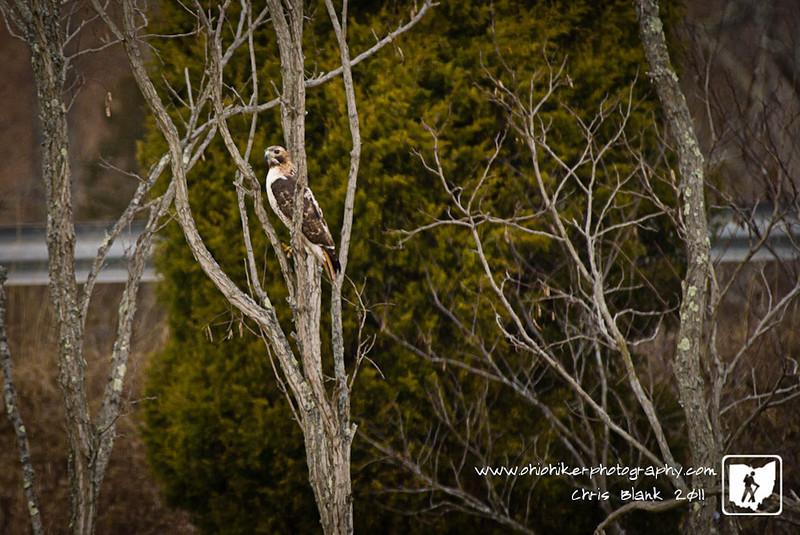 I saw this red-tail hawk today while driving around.  I stopped to get a shot and he moved on.  Luckily he headed up the road and I was able to find him again.  I got this shot before he headed even deeper into the woods.
