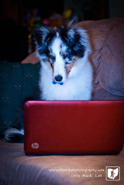 Rooney is always getting up on the couch and walking across the laptop keyboards.  If you wiggle the mouse around it will catch his eye and he will sit and watch it.  I set this shot up to catch him watching the screen.