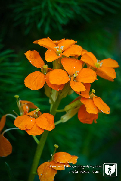 The Siberian Wallflowers  in my wildflower garden have begun blooming.  The small orange flowers make for great macro shooting opportunity.