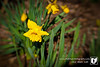 I was working outside today and noticed the first of the daffodils in the neighborhood.  A sure sign spring is here.