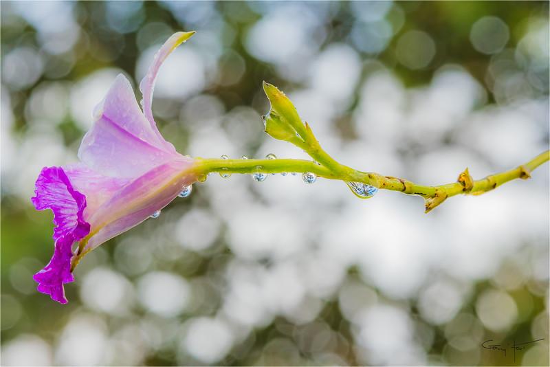 Raindrops on Orchid, Lava Tree State Park, Hawaii